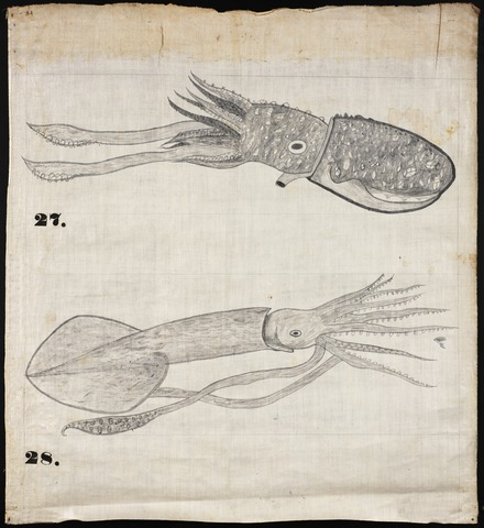 Orra White Hitchcock drawing of two squids