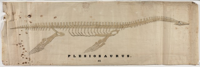 Orra White Hitchcock drawing of plesiosaurus skeleton