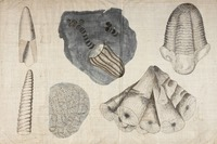 Orra White Hitchcock drawing of invertebrate fossils