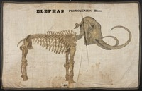 Orra White Hitchcock drawing of woolly mammoth skeleton