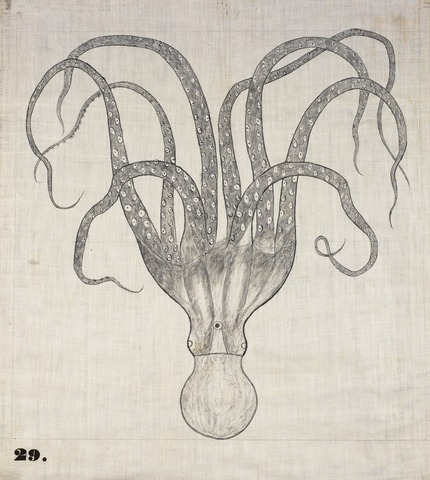 Orra White Hitchcock drawing of octopus