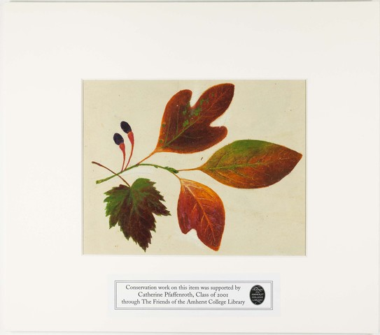 Orra White Hitchcock painting of sassafras leaves and maple leaf