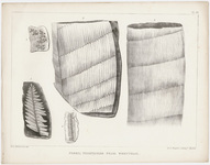 "Orra White Hitchcock plate, ""Fossil vegetables from Wrentham,"" 1841"