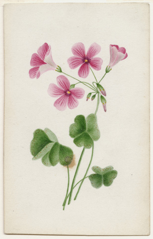 Watercolor drawing of oxalis