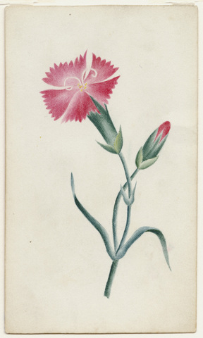 Watercolor drawing of dianthus flower and bud