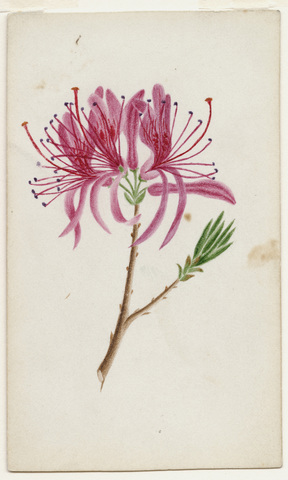 Watercolor drawing of cleome