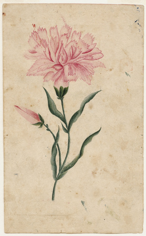 Watercolor drawing of carnation