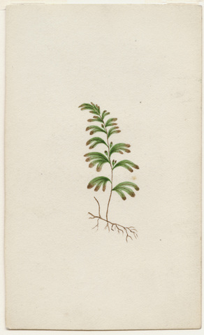 Watercolor drawing of unidentified botanical specimen with roots